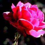 como se reproducen las rosas