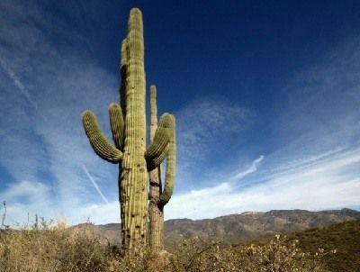 como se reproducen los cactus