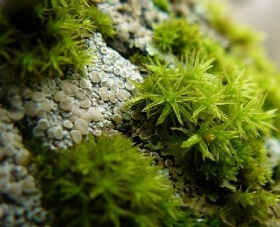 como se reproducen los musgos