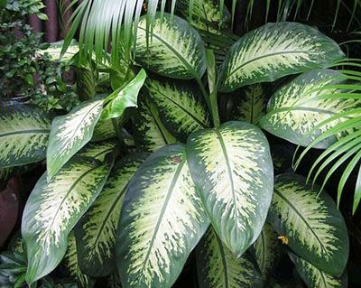 dieffenbachia venenosa pictures to pin on pinterest