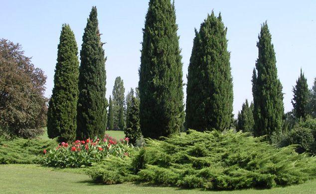 Cipr s caracter sticas cuidados y tipos ecobotanico for Tipos de arboles y sus caracteristicas