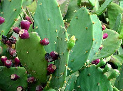 de que se alimentan los cactus