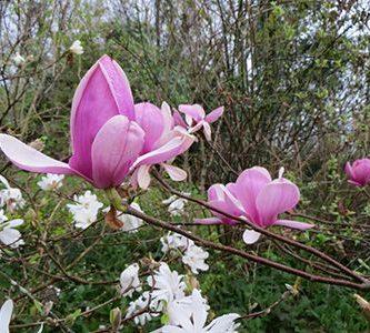Plantas archivos ecobotanico - Magnolia planta cuidados ...