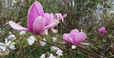 Un mundo de plantas - Magnolia planta cuidados ...