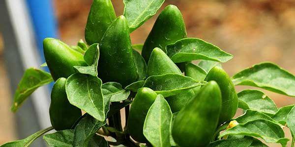10 nombres de plantas alimenticias