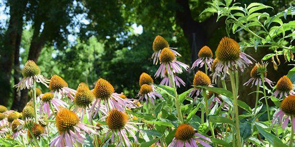 10 nombres de plantas tintoreas