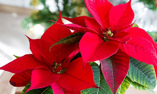 Como hacer que se ponga roja la flor de pascua