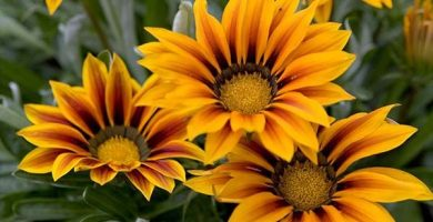 Flores que se abren con el sol