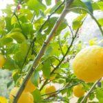 enfermedades del limonero