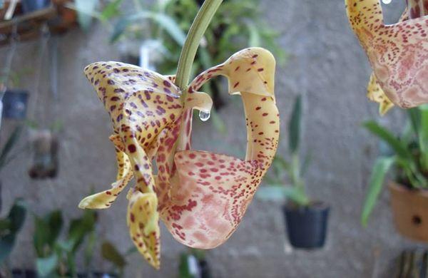 Coryanthes pegiae