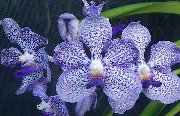 Orquideas Vandas
